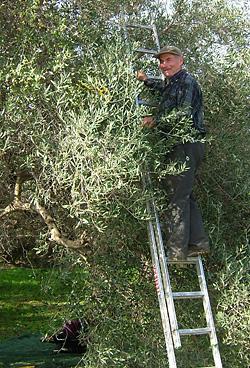 oliven l und gesundheit wissenswertes von fohrer oliven l. Black Bedroom Furniture Sets. Home Design Ideas
